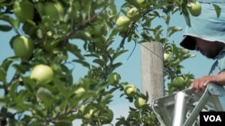 These apples will be harvested later in the fall, but orchard owners worry whether they will have enough immigrant labor to pick the fruit. (M. Kornely/VOA)