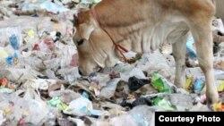 Les animaux mangent des déchets contaminés, ce qui peut rendre leur viande dangereuse à la consommation