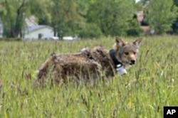 By trapping urban coyotes and putting radio collars on them to track their movements and behavior, scientists have learned coyotes learn much faster than domestic dogs do.