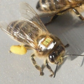 Researchers tagged honeybees with microchips to keep track of them after exposure to insecticide.