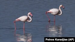 Flamingos walk at a salt lake in the southern coastal city of Larnaca, in the eastern Mediterranean island of Cyprus, Sunday, Jan. 31, 2021.(AP Photo/Petros Karadjias)