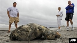Bangkai penyu serta hewan laut lainnya ditemukan tersebar di sepanjang garis pantai Lambayeque, Peru utara. (Foto: Dok)