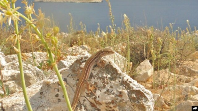 The island of Lazaros in the central Aegean Sea is home to this Agean wall lizard - one of the species examined in the study.