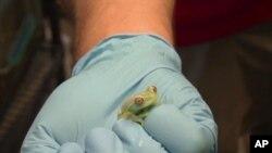 นักอนุรักษ์สิ่งแวดล้อมของสถาบัน Smithsonian พยายามพิทักษ์กบในปานามา ไม่ให้สูญพันธุ์