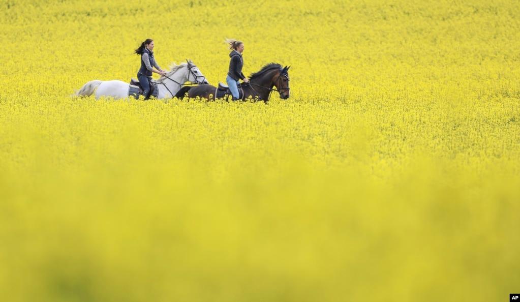 Две женщины ездят на лошадях по рапсовым полям в Лангененслингене, Германия.