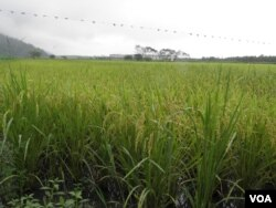 花莲梨山脚下的有机稻田 (美国之音木风拍摄)