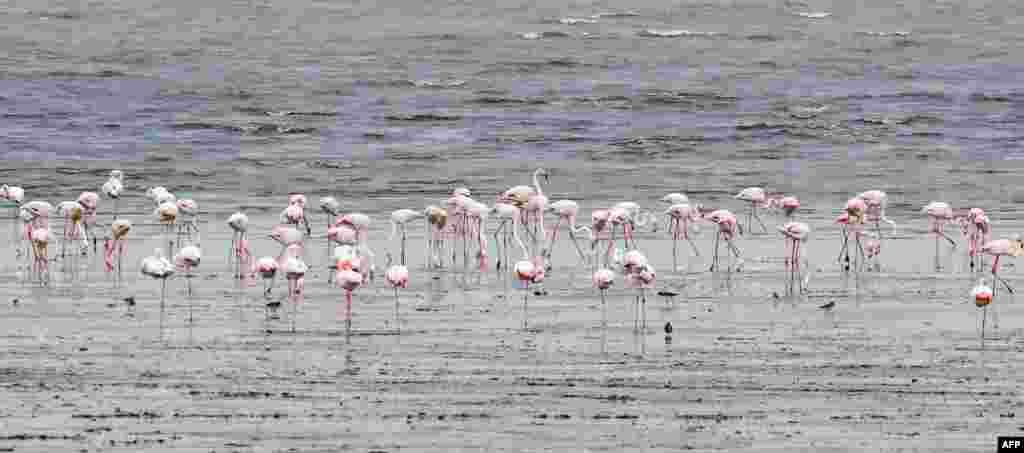 Kuveyt kentinin kuzeyindeki plajda flamingolar beslenirken.