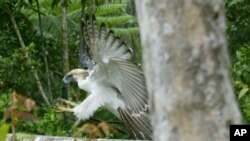 "Seekor burung elang Filipina yang dinamakan ""Kabayan"" dilepaskan dari kandangnya di hutan pelestarian alam Gunung Apo di Kidapawan, provinsi Cotabato Utara di Filipina Selatan (Foto: dok)."