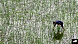 FILE - A farmer plants rice at a field on the outskirts of Changsha in China's Hunan Province, June 19, 2008.