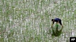 Một nông dân cấy lúa trong một cánh đồng trong tỉnh Hồ Nam, Trung Quốc