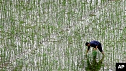 FILE - A farmer plants rice at a field on the outskirts of Changsha in China's Hunan Province.