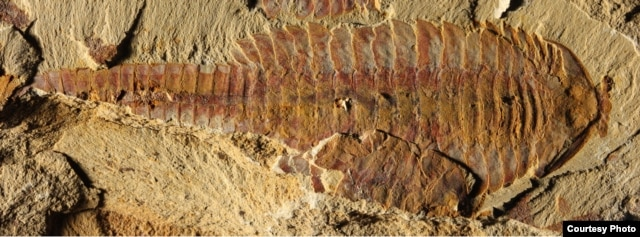 The dorsal view of the 7-centimeter long fossil was found in sediments dating back 520 million years ago in what today is China's Yunnan province. (Credit: Xiaoya Ma)