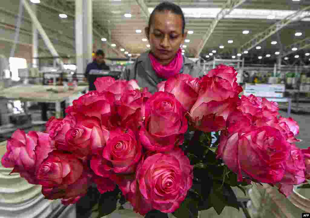 A worker prepares roses for packing ahead of Valentine's Day, at a flower plantation in Tabio, Cundinamarca department, Colombia.