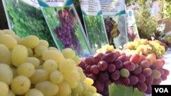 در ولایت هرات نزدیک به ٥٠نوع انگور پرورش داده میشود