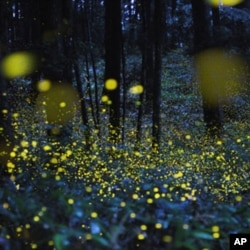 Photographer Tsuneaki Hiramatsu combined slow–shutter speed photos to produce stunning images of firefly signals. This image was photographed in Okayama prefecture, Japan.