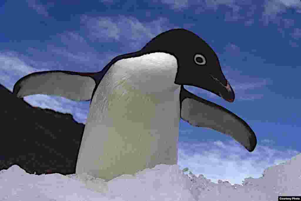 Penguin Adélie mengembangkan sayapnya.(OCEANITES/Ron Naveen)