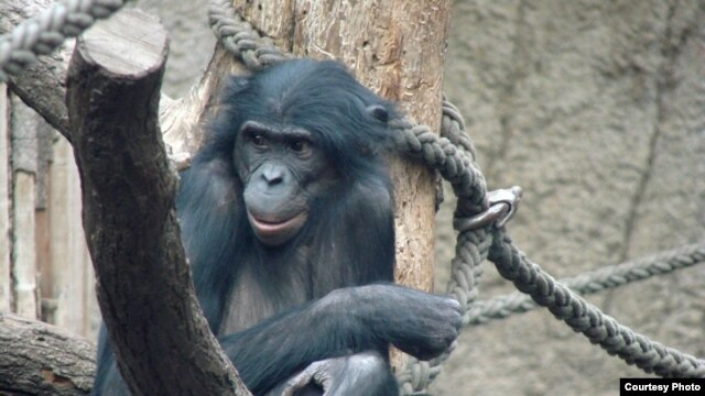 Scientist Kay Prufer and his colleagues studied this female bonobo called Ulindi, who lives in the Leipzig Zoo in Germany, to help map the bonobo genome.  (© MPI for Evolutionary Anthropology)