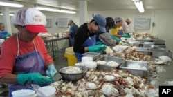 Von Wesson (middle, in blue cap) and her fellow workers are paid by the pound of crab meat they clean from the shells. With fewer crabs coming in, they're earning less money.