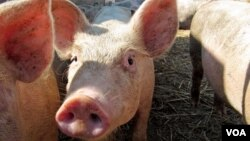 Những liều lượng nhỏ thuốc kháng sinh được thêm vào nước hay thực phẩm gia súc để giúp chúng tăng trưởng nhanh hơn mà tốn ít thực phẩm hơn.