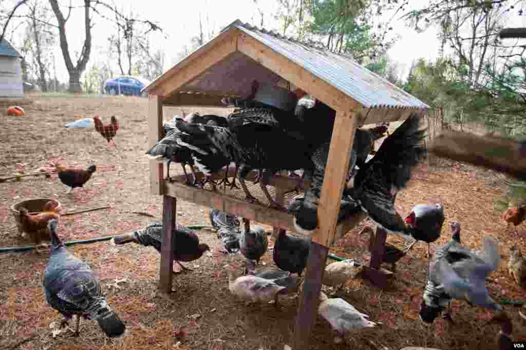 Heritage turkeys at Crowfoot Farm. (Alison Klein/VOA)