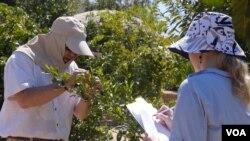 霍德尔夫妇检视柑橘树(美国之音国符拍摄)