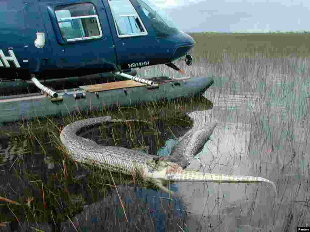 Hay registros de que estas serpientes han tragado animales tan grandes como ciervos. En la foto, tomada en 2005, una pitón birmana come un caimán.