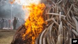 Quinze tonnes de défenses d'éléphants sont détruites lors d'une cérémonie lutte anti-braconnage au parc national de Nairobi au Kenya, 3mars 3, 2015. (AP Photo / Khalil Senosi)