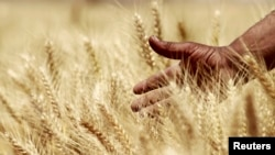 FILE - A farmer harvests wheat on a field in the El-Menoufia governorate, north of Cairo, Egypt.
