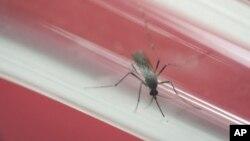 Zika virüsünü taşıyan Aedes Aegypti sivrisineği