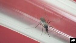 在巴西的里约热内卢,研究机构的试管里的蚊子(2016年5月23日)