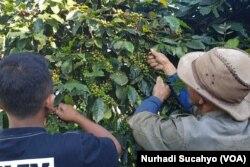 Petani kopi di lereng Gunung Sindoro Jawa Tengah yang akan terdampak lesunya bisnis cafe. (Foto: VOA/Nurhadi Sucahyo)