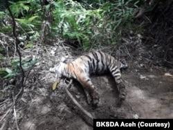 Satu dari tiga bangkai harimau Sumatera yang ditemukan mati karena infeksi luka terkena jerat di Desa Ie Buboh, Kecamatan Meukek, Kabupaten Aceh Selatan, Aceh, Kamis 26 Agustus 2021. (Courtesy: BKSDA Aceh)