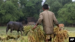 A Cambodian man carries rice at a paddy rice farm in Bekpeang village in Cambodia. (file)