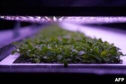 Budidaya tanaman di pertanian tanaman vertikal 'Nordic Harvest' yang berbasis di Taastrup, pinggiran barat Kopenhagen, 10 November 2020 . (AFP)