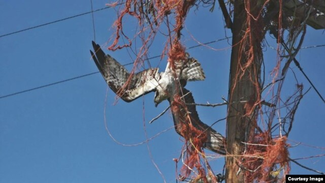 This is how ospreys' unhealthy affinity for baling twine can kill. Idaho Fish and Game biologist Beth Waterbury rescued this osprey in the nick of time. (Beth Waterbury, Idaho Fish and Game)