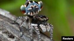 Một mẫu nhện Peacock Spider mới được khám phá của Úc, Maratus Lobatus, trong một bức ảnh từ Úc không ghi ngày tháng.