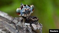 一只澳大利亚孔雀蜘蛛的样本正在这张未标明日期的照片中展示它的彩色的下腹部,
