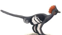 A drawing of Anchiornis huxleyi