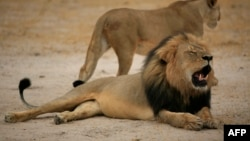 FILE - This handout picture taken October 21, 2012, and released last month by the Zimbabwe national parks agency shows Cecil, the much-loved lion killed by an American bowhunter in July.