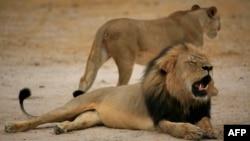 津巴布韦著名的黑鬃狮子西塞尔被杀害前的雄姿(2012年10月21日 资料照片)