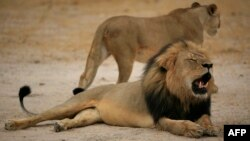 FILE - Cecil, a black-maned lion at Zimbabwe's Hwange National Park, was killed this summer by American hunter Walter Palmer. The Zimbabwe National Parks agency shared the 2012 photo.