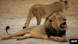 """This handout picture taken on October 21, 2012 and released on July 28, 2015 by the Zimbabwe National Parks agency shows a much-loved Zimbabwean lion called """"Cecil"""" which was allegedly killed by an American tourist."""