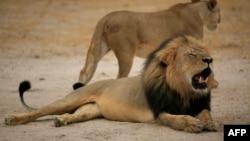 津巴布韦黑鬃雄狮塞西尔 (2012年10月21日 资料照片)