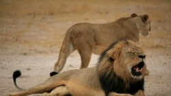 Interview With Randy Paynter of Care2 Petititions on Cecil The Lion