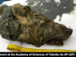 FILE: The head of an Ice Age wolf that was found in Russia's frozen permafrost. It's brain, fur and tissues were perfectly preserved.