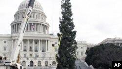 加州向国会赠送的圣诞树竖起来了
