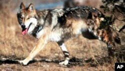 FILE - In this undated file photo provided by the U.S. Fish and Wildlife Service, a Mexican gray wolf leaves cover at the Sevilleta National Wildlife Refuge, Socorro County, N.M.