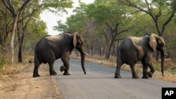 FILE - Elephants cross the road in Hwange National Park, about 700 kilometers south west of Harare, Zimbabwe, Oct. 1, 2015. An anti-poaching unit operating on the west of Zimbabwe's Matusadona National Park reported no elephants poached for nearly two years.