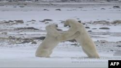 Kutup Ayılarının Nesli Tükeniyor