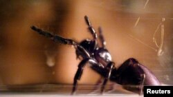 A worker at the Australian Museum tries to make the world's deadliest spider, a Sydney funnel-web, produce venom for research work in Sydney.